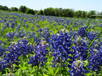Blue Bonnets near the Oral Surgery  practice of Dr. Ed Menton in Arlington TX